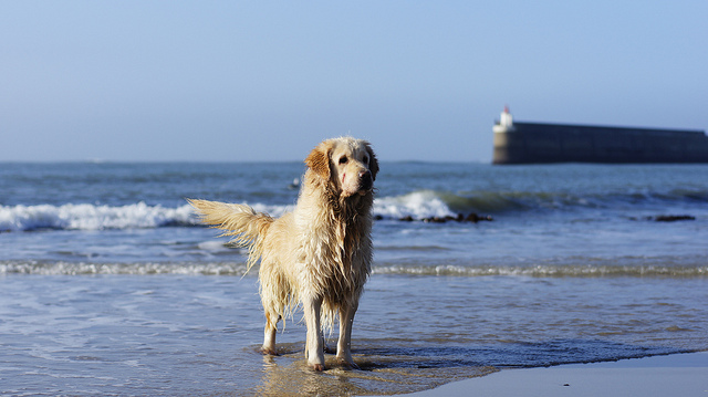 Dog At Quiberon Beach